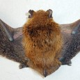 Experts on infectious diseases warn people to stay away from bats worldwide after the recent death of an eight-year-old boy bitten in Australia. The boy last month became the third person in the country to die of […]