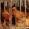Avian flu viruses pass from infected birds to humans in close proximity but typically do not transmit easily between humans Chinese scientists have sounded the alarm after a new bird flu virus, H10N8, killed an elderly woman […]