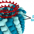 A mass spectrometry-based analysis of influenza virions provides a detailed view of their composition. A spherical influenza virion is an orderly hodgepodge comprised of hundreds of proteins […]