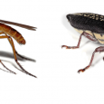 Vaccines developed using proteins rather than live viruses can help protect animals and subsequently humans from insect-borne viruses, according to Alan Young, chief scientific officer for Medgene […]