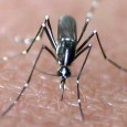 A vaccine against chikungunya that is based on a measles vaccine virus has shown encouraging results in its first human trial. There is currently no approved vaccine against chikungunya. The candidate vaccine reported in The Lancet Infectious […]