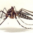 Only the female of the species of infection-spreading mosquitoes is a threat to humans – the males do not need to provide for developing eggs by biting […]