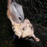 A forest bat netted in Uganda. The bat hosts a parasite – a large wingless, eyeless fly – that in turn seems to be host for a newfound virus. New work from the University of Wisconsin–Madison is helping unravel the ecological interplay of important pathogens and their hosts. After testing, the bat was released unharmed. (Courtesy Tony Goldberg)