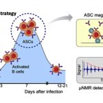 Antibody-secreting cells (ASCs) transiently migrate in peripheral blood, peaking seven days after infection. In the MCD (magnetic capture and detection) approach, ASCs are enriched through magnetic capture and briefly cultured on-chip to increase antibody concentrations. Secreted antigen-specific antibodies are then detected by micronuclear magnetic resonance (μNMR). Courtesy: ACS Nano DOI: 10.1021/acsnano.7b06074