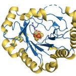 A structural model of viperin, a naturally occurring enzyme in humans that is known to have antiviral effects on viruses such as West Nile, hepatitis C, rabies, and HIV. A new study led by researchers from Penn State and the Albert Einstein College of Medicine reveals the mode of action of viperin, which facilitates an important reaction that results in the production of ddhCTP, a molecule that prevents viruses from copying their genetic material. Credit: David W. Gohara, Ph.D (PDB: 5VSM; Fenwick et al. PNAS 2017 114 6806-6811)