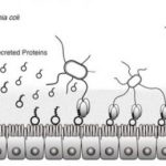 The mechanism of initial attachment of ETEC to human intestinal epithelium and its inhibition by antibodies. Credit: Osaka University