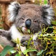 A koala virus could help researchers explain millions of years of accumulated 'junk' DNA in the human genome. An international team of researchers – including scientists from The University of Queensland – is studying a virus infecting […]