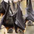 Researchers have identified how a viral protein, which plays a major role in causing deadly Nipah and Hendra virus infections, targets a critical function in human cells to suppress immune responses and promote fatal disease. The research […]