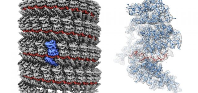 Researchers at the Okinawa Institute of Science and Technology Graduate University (OIST) have for the first time imaged the structure of a central component of the Ebola virus at near-atomic resolution. The study, published in the journal […]