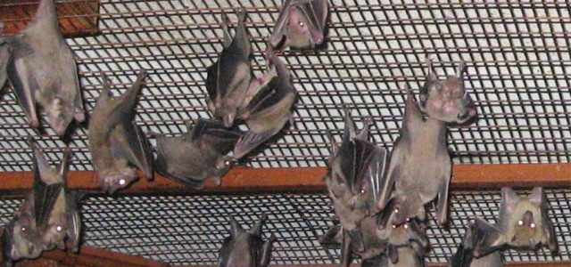Investigators have now detected Marburg virus in West Africa for the first time, a December 21, 2018,statementfrom the US Centers for Disease Control and Prevention (CDC) reports. The deadly virus was isolated from fruit bats in Sierra […]